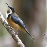 eastern-spinebill-150x150