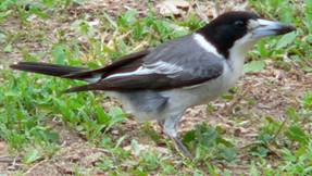 grey-butcherbird